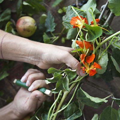 Blommor från köksträdgården på Siggesta gård